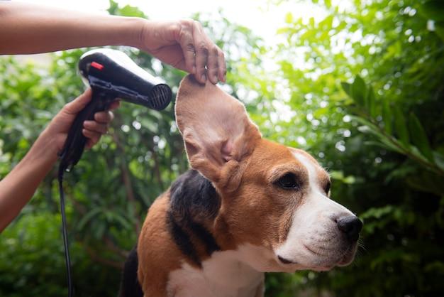 Pulire le orecchie del cane beagle dopo il bagno con un asciugacapelli
