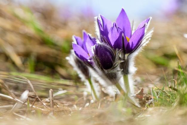 Pulsatilla grandis, pasqueflower. primo piano di bei pasqueflowers contro la luce solare su sfondo naturale.