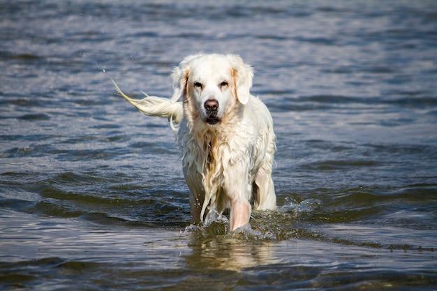 Punto di vista di un cane bianco bagnato sveglio che gioca nell'acqua.