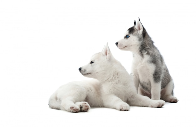 Punto di vista posteriore dei cuccioli divertenti del husky siberiano, sedentesi sul pavimento contro lo sguardo bianco e interessante, aspettante il cibo. due cani trasportati come il lupo con il colore grigio e bianco della pelliccia. isolato.
