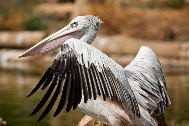 Punto di vista vicino di un uccello sostenuto da rosa del pellicano su uno zoo.