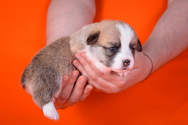 Puppy corgi all'età di 1 mese nelle mani di uomini.