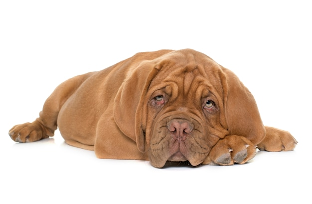 Puppy dogue de bordeaux