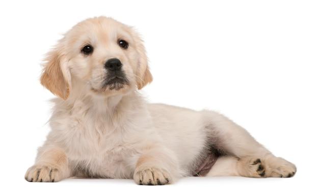 Puppy golden retriever (20 settimane)