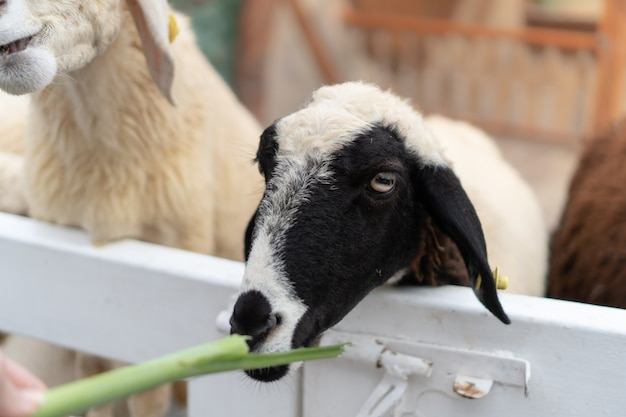 Qualcuno dà da mangiare alle pecore in bianco e nero con l'erba