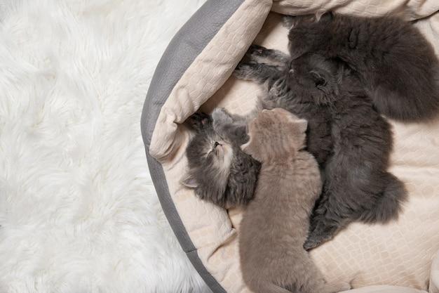 Quattro cuccioli dormono in un letto di gatto