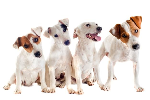 Quattro jack russel terrier