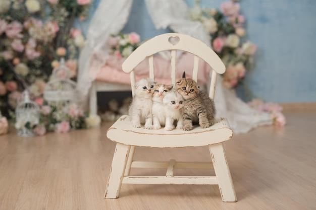 Quattro piccoli simpatici gattini britannici britannici sono seduti su una bellissima sedia vintage bianca in un interno leggero e stanno guardando la telecamera