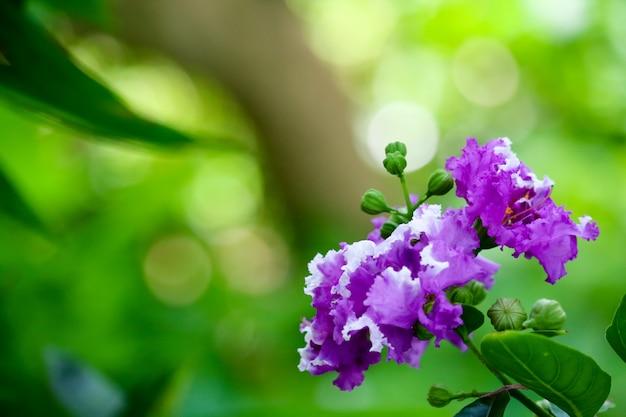 Queen's crape myrtle o inthanin fiori viola