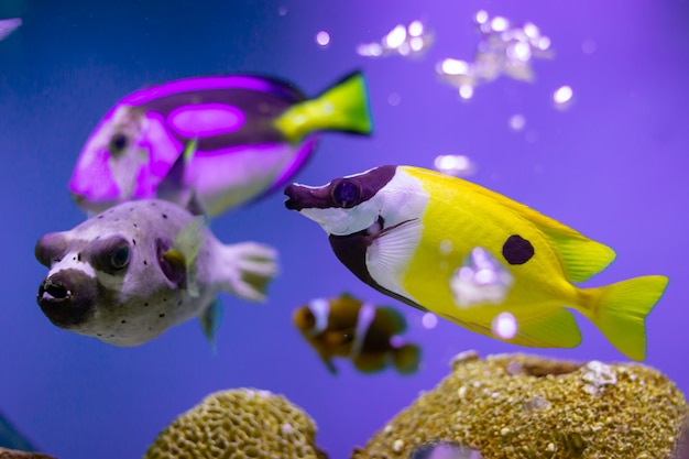 Rabbitfish di foxface all'oceano della tailandia