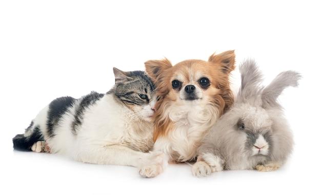Rabit, gatto e chihuahua