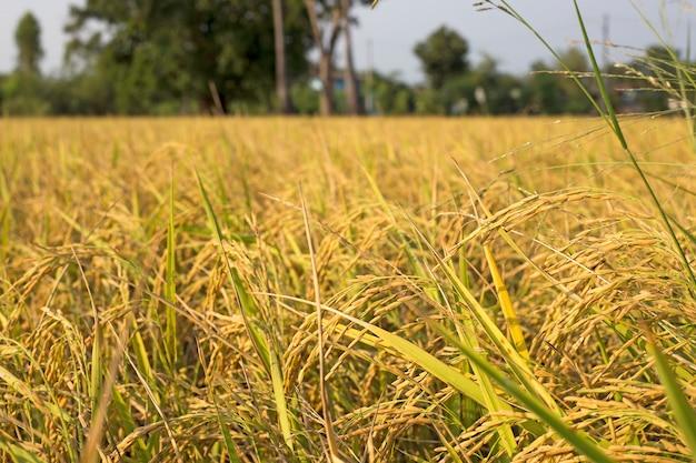 Raccogli il riso nel campo la sera