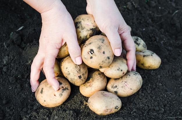 Raccogli le patate ecologiche nelle mani del contadino.