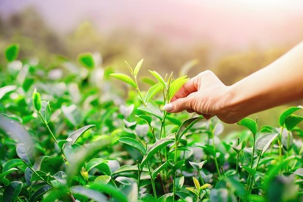 Raccogliendo la punta della foglia di tè verde dalla mano umana sulla collina della piantagione di tè