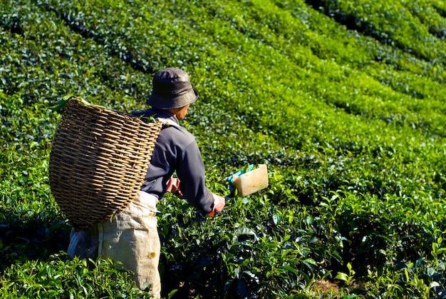 Raccoglitore di tè che raccoglie le foglie di tè