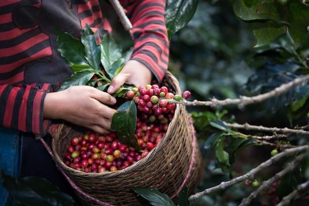 Raccolga le bacche del caffè dell'arabica sul suo ramo.