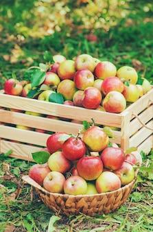 Raccolga le mele in una scatola su un albero nel giardino