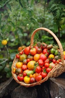 Raccolta dei pomodori in un cestino