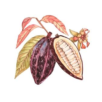 Raccolta della frutta del cacao dell'acquerello isolata. piante di cacao esotiche disegnate a mano.