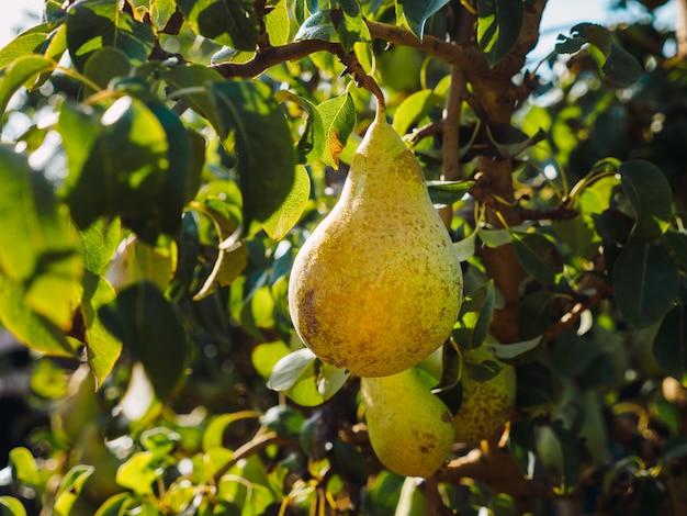 Raccolta della pera in un agricoltore