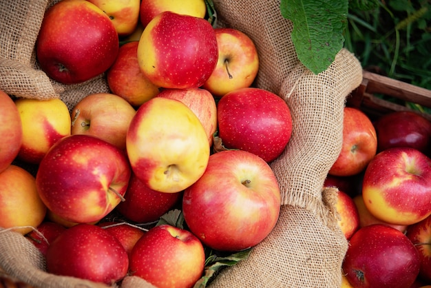 Raccolta delle mele. mele rosse mature nel cestino sull'erba verde.