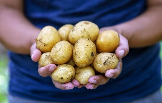 Raccolta delle patate nelle mani del contadino