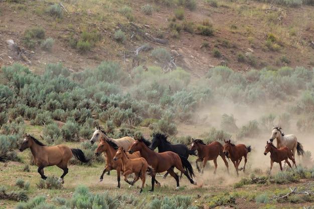 Raccolta di cavalli selvaggi nello utah