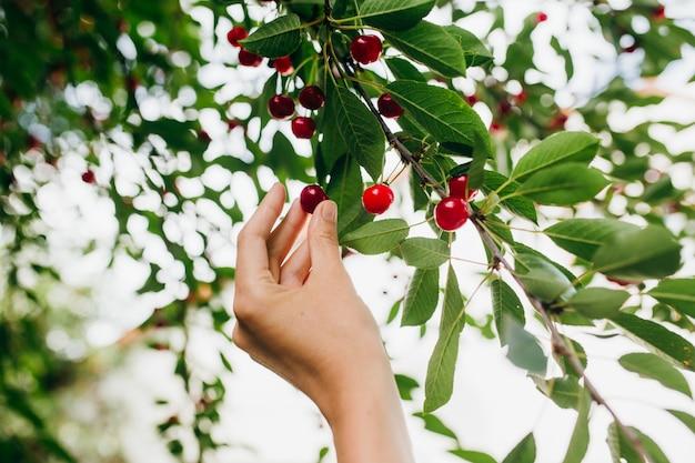 Raccolta di ciliegie rosse dolci in estate