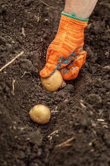 Raccolta di patate biologiche fresche dal suolo