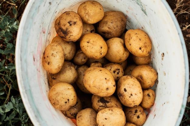 Raccolta di patate in un secchio bianco