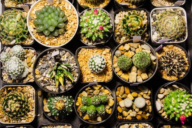 Raccolta di vari cactus e piante succulente in vasi diversi che vendono al mercato notturno