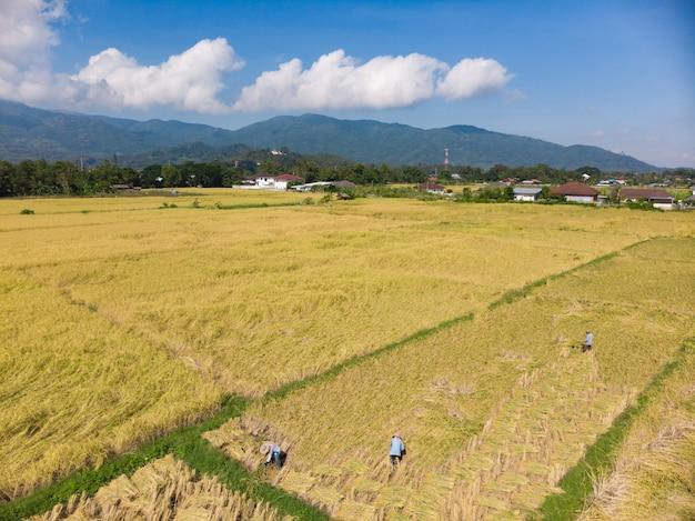 Raccolta e raccolta delle piante di riso asciutte