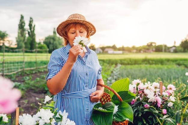 Raccolta senior della donna e fiori odoranti in giardino. donna pensionata anziana che mette la merce nel carrello delle peonie. natura di primavera