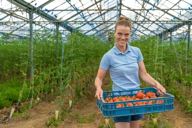 Raccolti pomodori biologici in una serra, conservati in cassette. donna che trasporta scatole con pomodori.