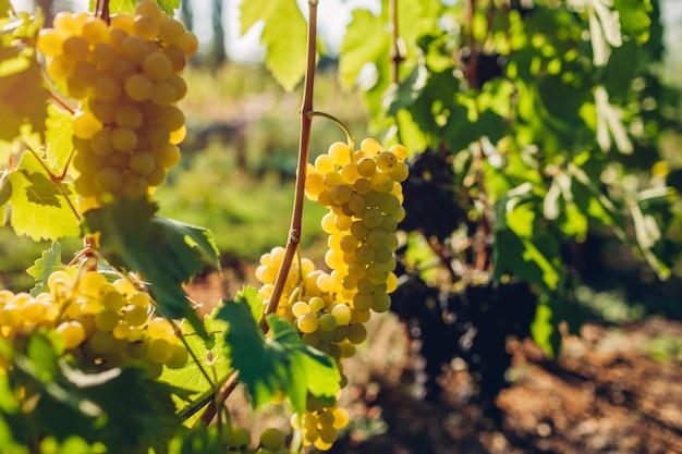 Raccolto autunnale di uva da tavola in fattoria ecologica, uva verde appesa in giardino,