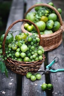 Raccolto di pomodori acerbi