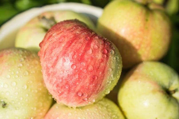 Raccolto di raccolta di mela succosa fresca e matura