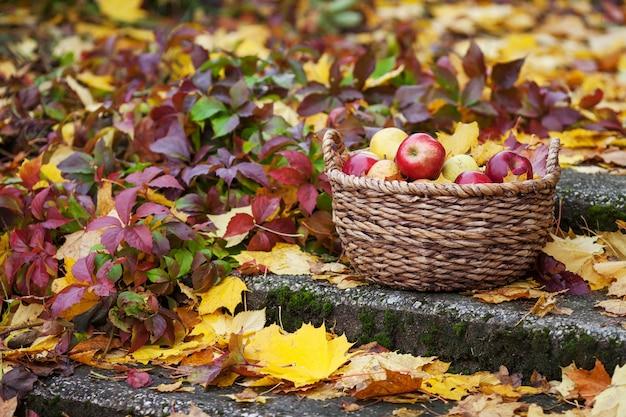 Raccolto fresco di mele. giardinaggio autunnale. giorno del ringraziamento. mele rosse organiche in un canestro