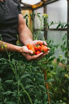 Raccolto fresco di pomodori nelle mani di un contadino.