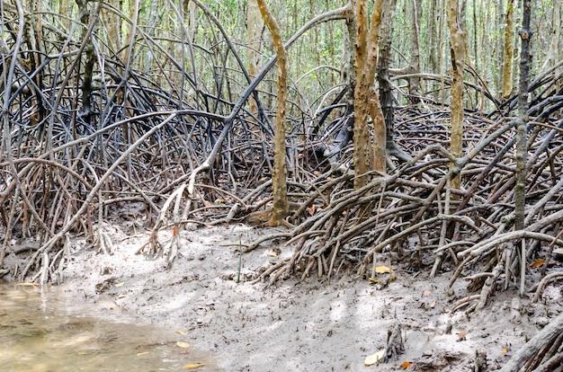 Radice dell'albero di mangrovia