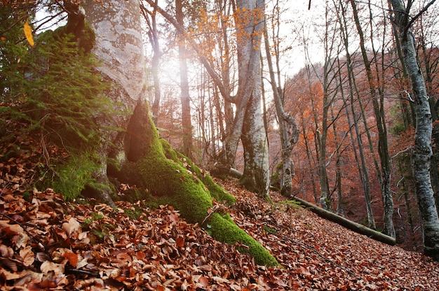 Radice di tres con muschio sulla foresta di autunno con il tramonto
