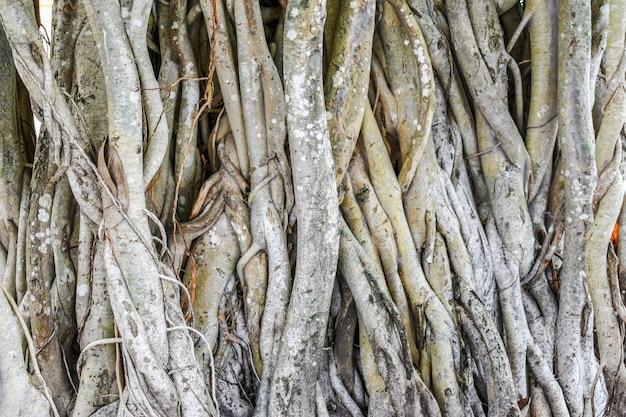Radici dell'albero naturali in tailandia
