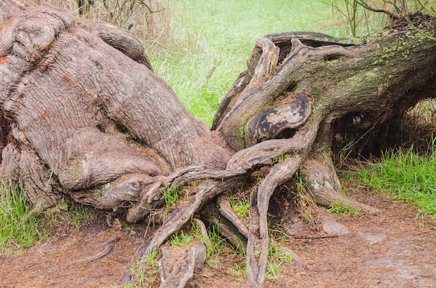 Radici di due alberi intrecciati