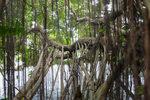 Radici di un albero o fico baynan (ficus benghalensis)