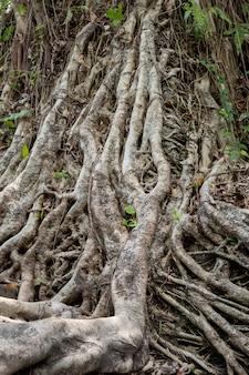 Radici di un albero