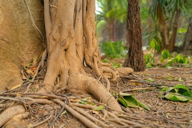 Radici tropicali dell'albero di ficus. primo piano delle radici di bobina con le radici aeree nel fuoco molle su fondo.
