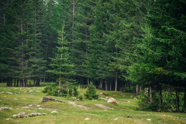 Radura tra le pietre nella foresta di conifere di montagna