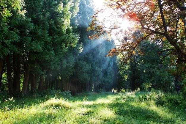 Raggi del mattino attraverso gli alberi nella foresta.