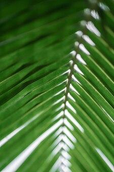 Raggi del sole attraverso le foglie di palma. focalizzazione morbida. natura giungla. primo piano di una foglia di palma verde saturata.