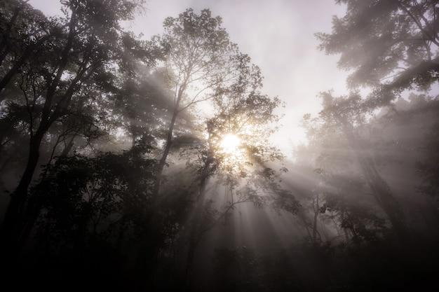 Raggi di mattina attraverso la foresta con nebbia